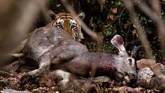 Life and Death (Shashanka Nanda) Tags: india tiger rajasthan ranthambhore ranthambore wildlife sambhar life death hunt