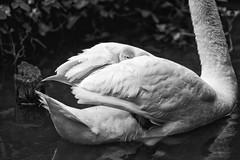 Peek (Fairy_Nuff (new website - piczology.com!)) Tags: swan cygnet dorset peek abbotsbury swannery