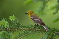 Pine Warbler on Spruce (Daniel Cadieux) Tags: pine ottawa spruce warbler