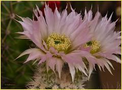 Kakteen - Echinocereus reichenbachii (Karabelso) Tags: flower macro rose blossom panasonic blume makro blte gx7 igelsulenkaktus