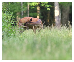 toilettage (guiguid45) Tags: nature nikon animaux fort sauvage biche loiret mammifres 500mmf4 d810 cervids fortdorlans