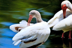 Ibis preening (donjuanmon) Tags: blue red orange white green birds bill preening ibis sliders hss slidersunday donjuanmon