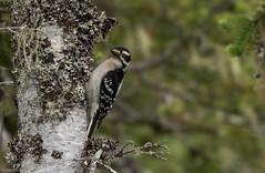 Hairy Woodpecker, Monchy Road (frank.king2014) Tags: ca canada hairywoodpecker gander newfoundlandandlabrador