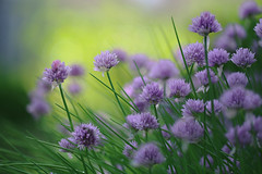 Chives (lfeng1014) Tags: flower macro closeup dof bokeh depthoffield chive macrophotography lifeng canon5dmarkiii 100mmf28lmacroisusm