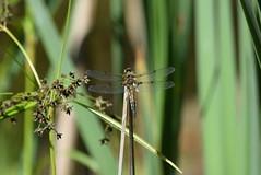 (careth@2012) Tags: macro wings dragonfly