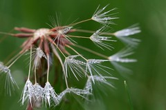 3P6A1144 (Ludo_M) Tags: flower macro green fleur is bokeh drop dandelion droplet usm pissenlit f28l ef100mm gouttelette