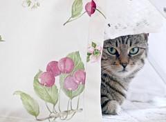 Laundry day (evakatharina12) Tags: pet white face cat eyes tabby kitty panasonic laundry highkey cc100 fz1000