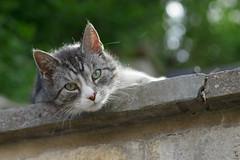 Kilfitt (Zoomar München) Makro Kilar 2.8/90 @ F5.6 (nerdmeister®) Tags: makrokilar2890 zoomar kilfittmünchen bokeh bokehsonice cat chat gato gatto neko katze uschi erfurt street summer beautifulbokeh