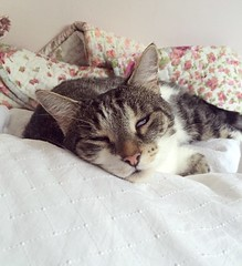 Now that's one contented cat (gwen.rucinski) Tags: morning cats cute love cat happy crazy kitten small fluffy content catnap sleepy snooze tabbycat silvertabby