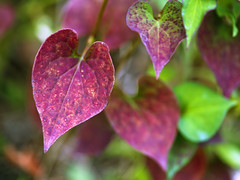 (DigiPub) Tags: autumn red summer food plant nature japan horizontal closeup outdoors photography leaf day nopeople vegetable violence change yokohama multicolored botany onsale esp  gettyimages heartshape  herbalmedicine colorimage  beautyinnature uncultivated  kanagawaprefecture    324679 544083826