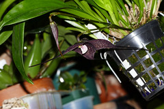 Dracula roezlii ('Beta' x 'Cow Hollow')  species orchid (nolehace) Tags: dracula roezlii cow hollow species orchid 516 beta spring nolehace fz1000 flower bloom plant sanfrancisco