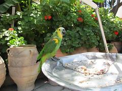 Our annual visit to Koko (pefkosmad) Tags: vacation pet holiday bird bar vacances hellas parrot greece greekislands griechenland rhodes rhodestown rhodesoldtown dodecanese socratousbar