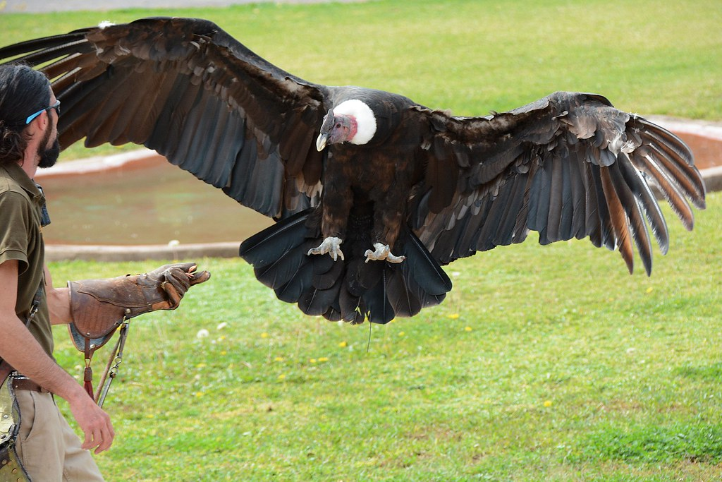 the world's best photos of condor and vogel - flickr hive mind