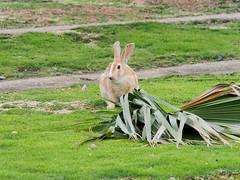B6250652 (VANILLASKY0607) Tags: rabbit bunny bunnies nature animal japan photo wildlife wildanimal hydrangea rabbits rabbitisland wildrabbit okunoshima