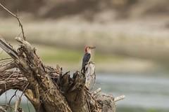 RED-BELLIED WOODPECKER (nsxbirder) Tags: indiana redbelliedwoodpecker brookville whitewaterriver leveerdbrookville