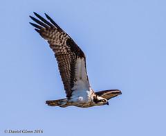 Osprey looking for fish (danielusescanon) Tags: osprey pandionhaliaetus wild flying bid birdperfect animalplanet huntleymeadowspark virginia