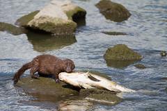 mink and carp (William Van der Hagen) Tags: bird minnesota birds river fishing dam mink granite carp granitefalls