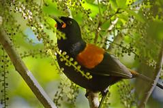 IMGP0219 Saddleback (Tieke) feeding on Seven Finger fruit Zealandia Wellington NZ 03-07-16 (Donald Laing) Tags: new plants birds native zealand wellington sanctuary zealandia wwildlife