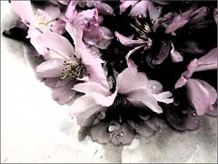 s1 (tarengil) Tags: blossom tree floral pink white sakura hanami