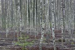 dead and alive (Mindaugas Buivydas) Tags: trees tree rain forest spring april birch lithuania shallowdepthoffield lietuva rdninkgiria rdninkaiforest