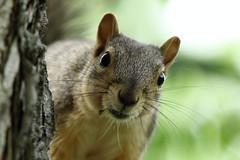 Squirrel, Morton Arboretum. 355 (EOS) (Mega-Magpie) Tags: usa tree cute green nature america canon eos illinois squirrel wildlife dupage arboretum il morton lisle the 60d