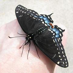 tale of a newborn swallowtail that wouldn't fly away ... (Vicki's Nature) Tags: new black macro female yard canon butterfly georgia hand fresh immature s5 blackswallowtail 7951 touchofred touchofblue vickisnature touchofwhite faves19 yourocknomedals storybookmostrecentpage