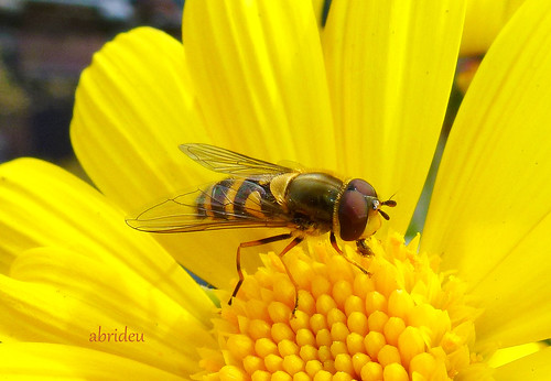 Hoverfly on Margarita