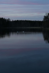 Purple evening on swan lake (liisatuulia) Tags: reflection finland swan heijastus kevt punkalaidun laulujoutsen