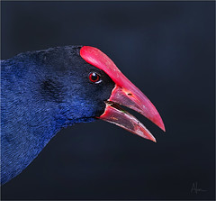 Purple Swamphen 1 (caralan393) Tags: blue red eye birds cu swamphen