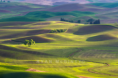 Palouse Spring Green Velvet (Ryan McGinty) Tags: sunset green landscape washington spring velvet rollinghills palouse whitmancounty wondersofnature steptoebutte ryanmcginty wheatsprounts