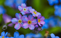 Indecisive Forget-me-nots (Thingography.com) Tags: flowers color indecisive forgetmenots