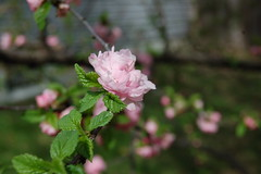 5.16.2013 (Legodude:)277) Tags: pink flower macro nature garden almond flowering