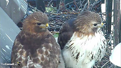 BR & EZ (Cornell Lab of Ornithology) Tags: red bird big university cams ezra cornell redtailedhawk nestlings labofornithology cornelllabofornithology