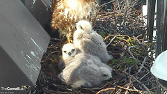 young in the sun (Cornell Lab of Ornithology) Tags: bird university cams cornell redtailedhawk nestlings labofornithology cornelllabofornithology