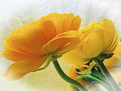 A Golden Glow (GrammyK11) Tags: flowers macro golden closeups rununculas