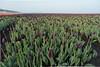 DSC08989 (Paulemans) Tags: sony a99 sal20f28 black tulips netherlands paulemans paulderoode