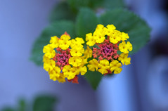 Color gems (Pensive glance) Tags: plant flower nature fleur plante lantana wonderfulworldofflowers flowerthequietbeauty