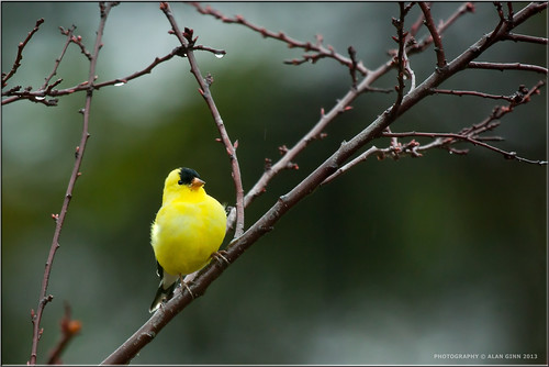 North American Goldfinch