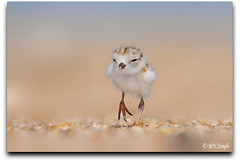 Piping Plover (BN Singh) Tags: new wild usa baby bird beach nature sandy chick jersey endangered hook piping plover nra threatened charadrius melodus