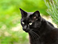 Didou (Marcellinen21) Tags: pet black cat chat gato marcellinenoirat