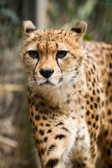 cheetah (Cloudtail) Tags: animal cat mammal zoo bigcat cheetah katze tier gepard landau raubkatze sugetier acinonyx jubatus groskatze