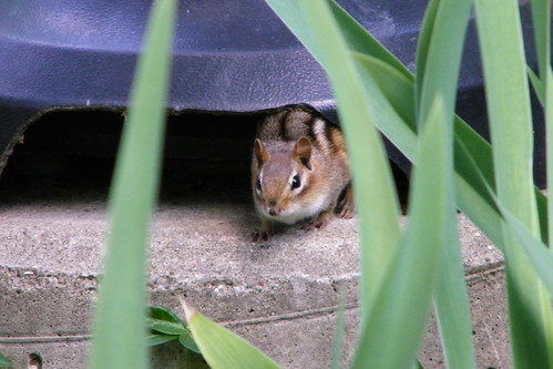 8/365/1834 (June 19, 2013) - Chipmunk at the University of Michigan