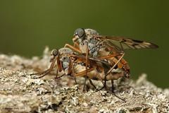 Snipe Flies (Wizmatt) Tags: nature matt landscape photography fly matthew wildlife pair flies mating diptera snipe downlooker focusstack scolopacea sigma150mm rhagio wisby wizmatt zerenestacker