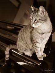 Black Mamba (davdenic  in the sky ) Tags: cat fur kitten kitty gatto gatti claws gattino