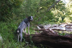 34/52 oh, come on!  it'll be fun! (huckleberryblue) Tags: summer dog river gracie hiking hound logs bluetickcoonhound week34 52weeksfordogs