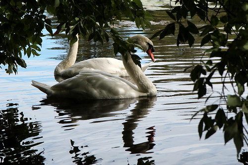 Royal Ottawa Swans on the Rideau River