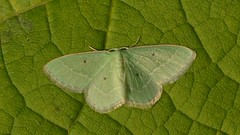 # 7029 – Nemoria elfa – Cypress Emerald Moth (Wildreturn) Tags: usa insect moth stlouis insects mo lepidoptera missouri forestpark insecta stlouiscity synchloraaerata fieldguide mmfg wavylinedemeraldmoth mothsofmissouri mothsofmissourifieldguide