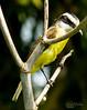 Bem-ti-vi (Daniel Dalonso) Tags: brazil brasil canon aves santacatarina paisagens joinville passaros passarinhos bentivi t2i 55250mm