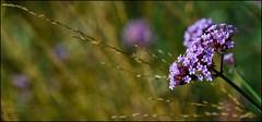 NYBG GARDEN GONE WILD, II (susies.genii) Tags: flower macro chrysanthemum nybg kiku newyorkbotanicalgarden bronxny outdoorgarden enidahauptconservatory october152013 artofthejapanesegarden kikuchrysanthemumshow