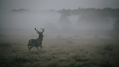 Alone. (Crusade.) Tags: park uk england mist london sunrise canon bokeh richmond deer 70200f28 5d2
